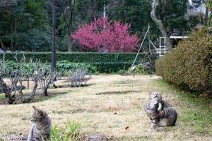 桜猫 日比谷公園の寒緋桜/台湾桜とキジトラ猫2匹
