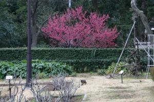 日比谷公園の寒緋桜とサビ猫