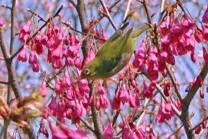 日比谷公園 寒緋桜/緋寒桜/台湾桜とメジロ