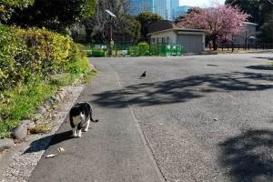 日比谷公園の黒白猫と遠くの大寒桜