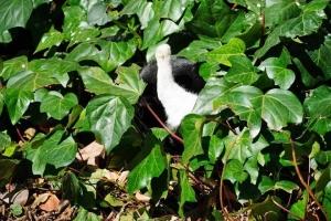 日比谷公園 オカメヅタの中の黒白猫の足