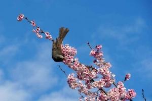 日比谷公園 大寒桜とヒヨドリ