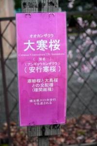 日比谷公園の大寒桜の樹名板
