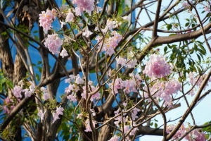 Pink Trumpet Tree, Bangkok Lumpini Park