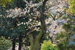 日比谷公園:山桜と普通の桜