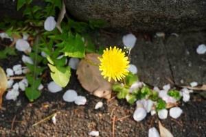 日比谷公園:タンポポの花と桜の花びら