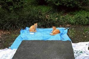 日比谷公園 花見ブルーシートの上の猫