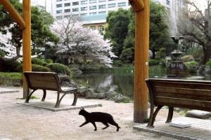 日比谷公園の桜と猫