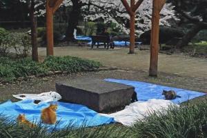 桜猫:日比谷公園 花見ブルーシートの上の猫