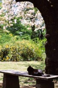 桜猫:小石川植物園の黒猫と桜