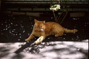小石川植物園の茶トラ猫