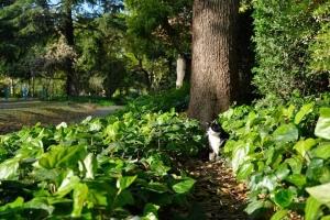 日比谷公園 オカメヅタと黒白猫