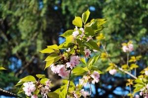 日比谷公園 八重桜