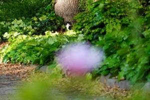 日比谷公園 ツツジの花越しにオカメヅタと黒白猫