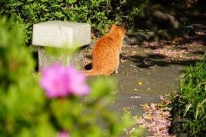 日比谷公園 ツツジと茶トラ猫の後ろ姿
