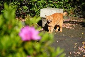 日比谷公園 ツツジと茶トラ猫