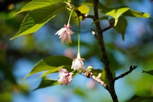 日比谷公園 最後の桜