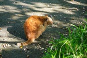 日比谷公園の茶トラ猫