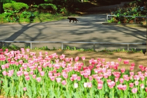 日比谷公園のチューリップと黒猫