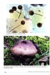 Puffballs_of_Northern_and_Central_Europe7.jpg
