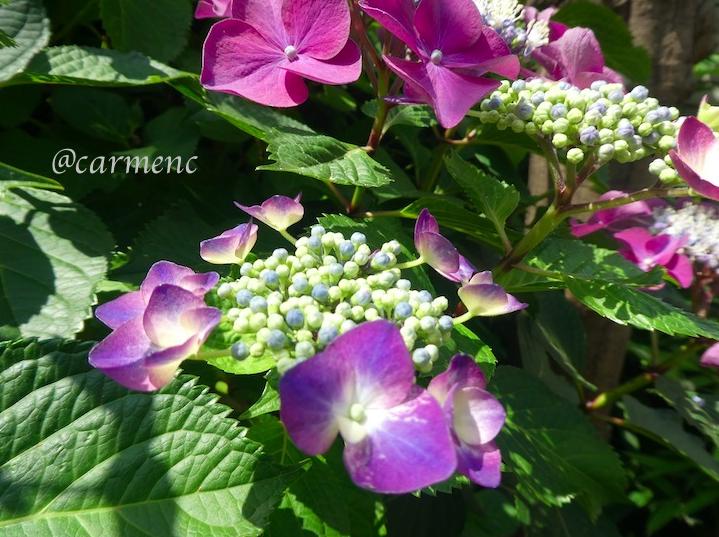 紫陽花に陽