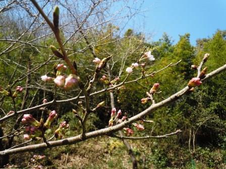 桜開花1(2020-03-21)
