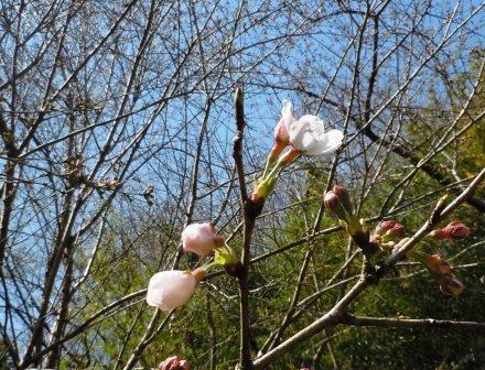 桜開花10〈2020-03-21)