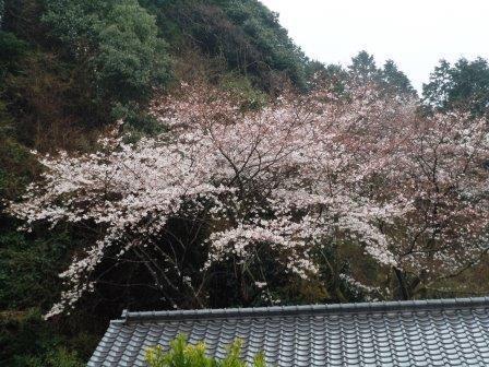 桜5(2020-03-26)