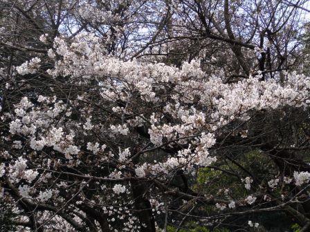 桜1(2020-03-24)