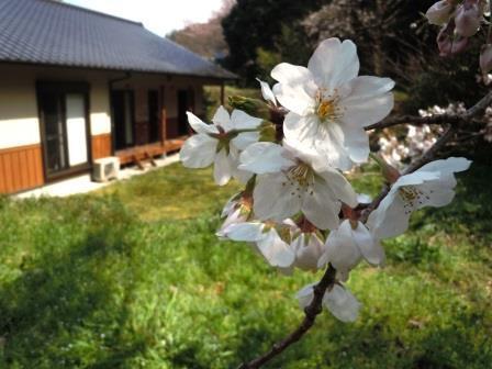 桜3(2020-03-24)