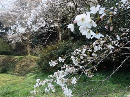 桜4(2020-03-24)