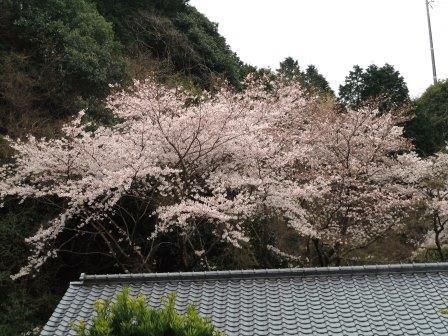 桜2(2020-03-28)