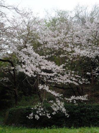 桜6(2020-03-28)(タテ)