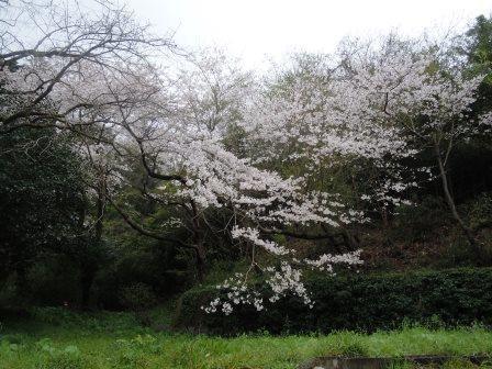 桜18(2020-03-28)