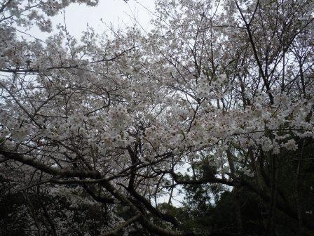 桜13(2020-03-28)