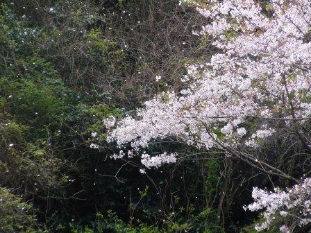 桜3(2020-04-05)