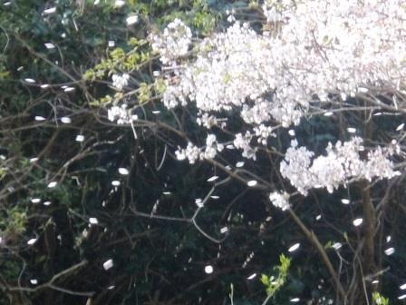 桜2(2020-04-05)