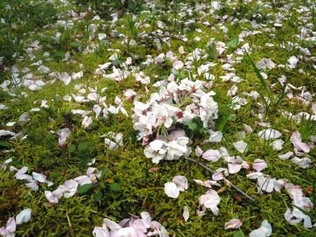 桜絨毯3(2020-04-03)