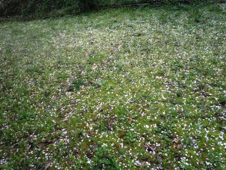 桜絨毯2(2020-04-03)