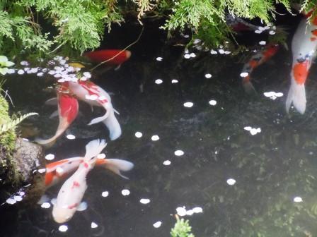 桜・池1(2020-04-05)