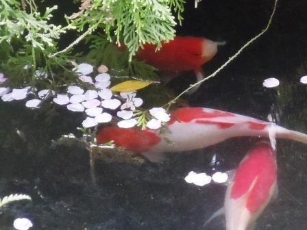 桜・池2(2020-04-05)