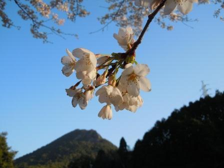 桜6(2016-04-04)