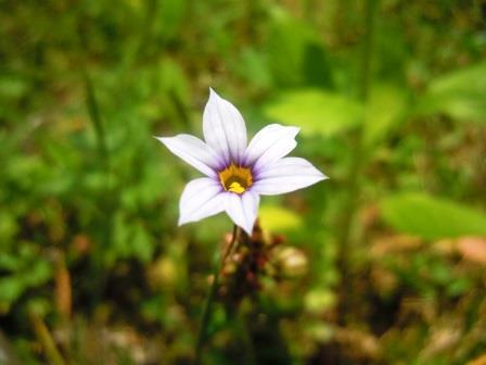 薄紫小花3(2020-05-06)