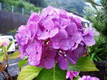 紫陽花5(2019-06-15)