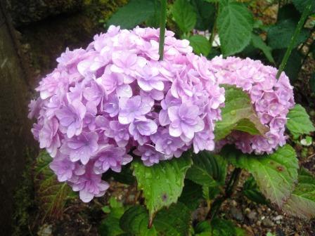 紫陽花5(2020-06-06)