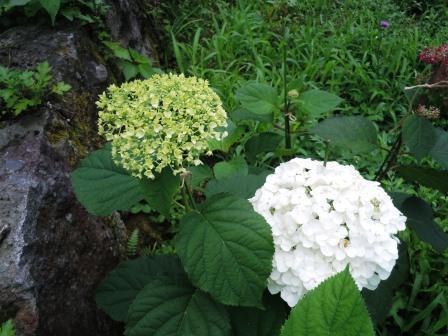 紫陽花(白・緑)1(2020-06-30)