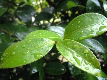 山茶花(葉)1(2020-06-13)