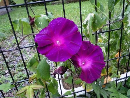 アサガオ(紫)1(2020-07-21)