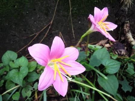 ピンク花4(2020-07-11)