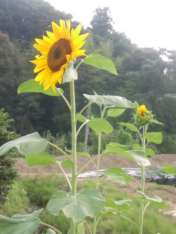 ひまわり1(2010-08-14)